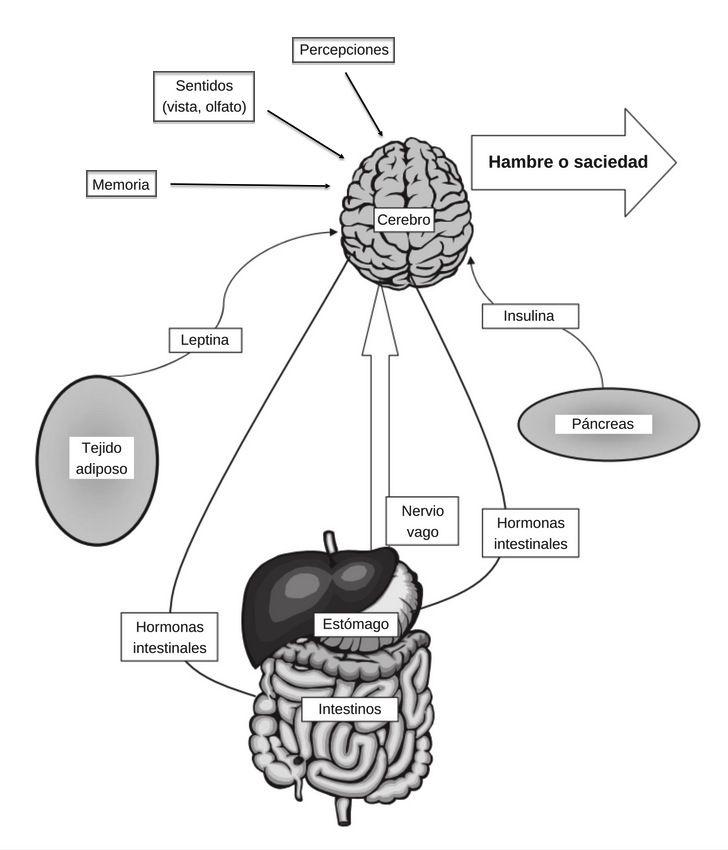 fisiología del hambre