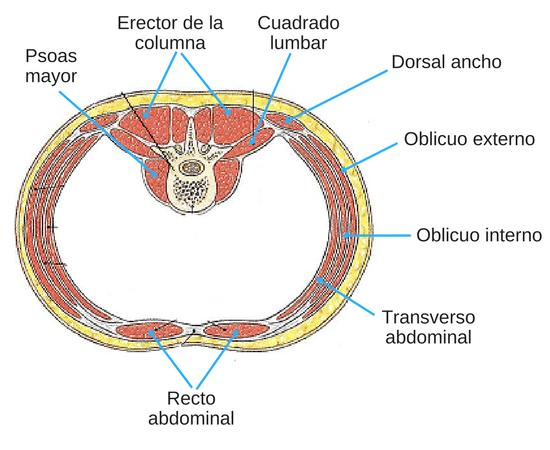 cilindro abdominal
