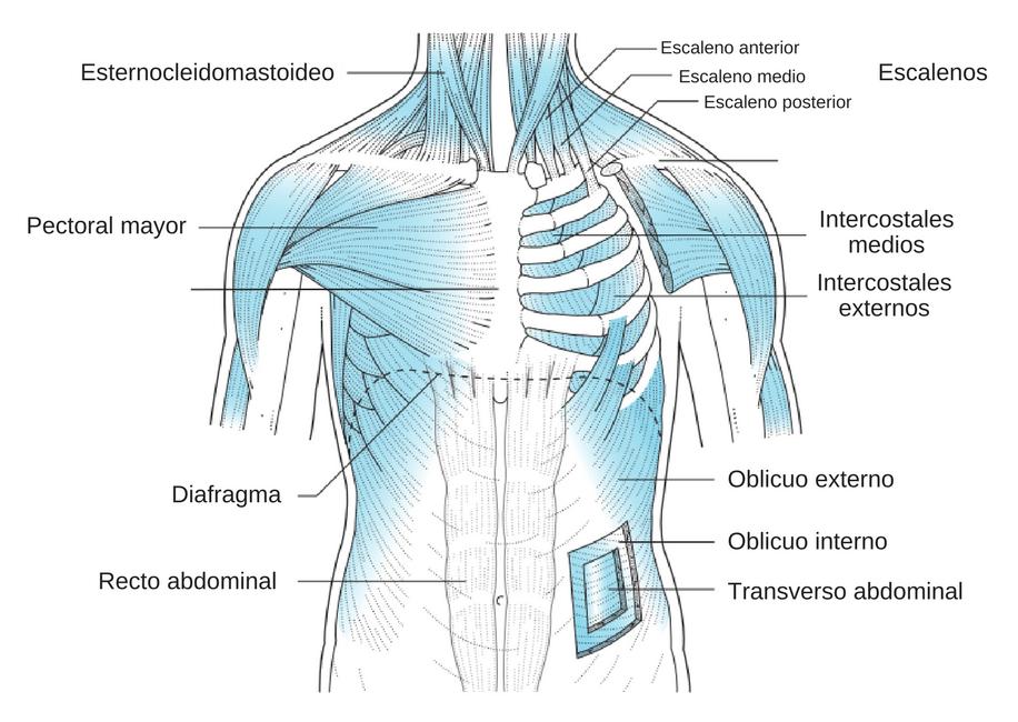 musculos de la respiración
