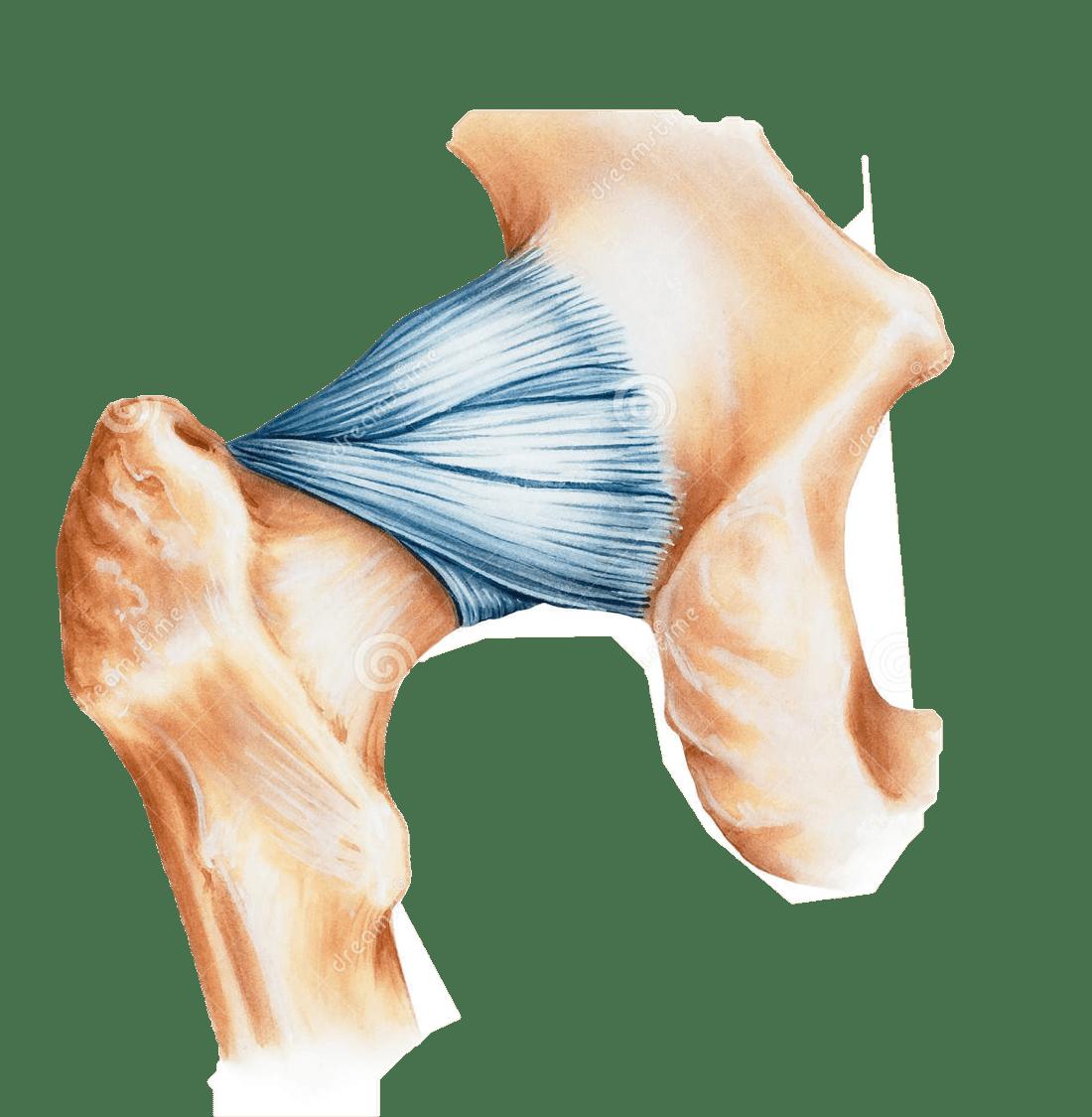 cápsula articular de cadera