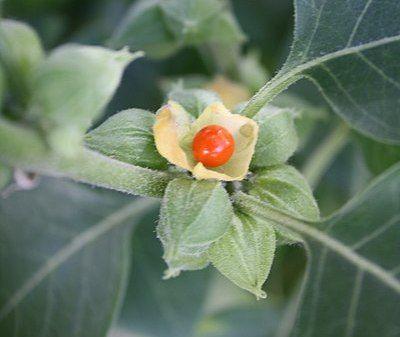 ashwaganda para estrés y ansiedad