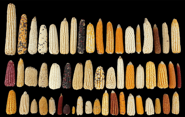 maíz nativo en México